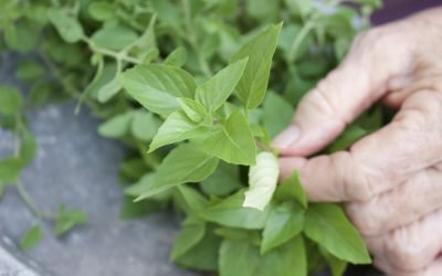 Using Herbs from the Garden